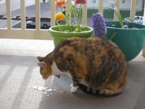 Кот рыгает от еды видео