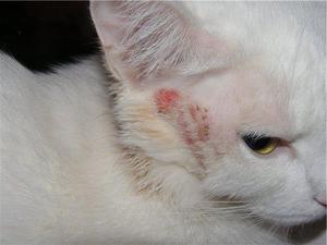 Кожная болезнь кота