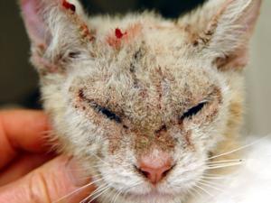 Болезни котов на коже