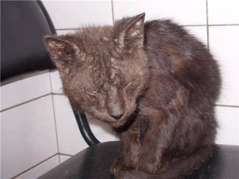 кожные заболевания у котов в картинках и их лечение