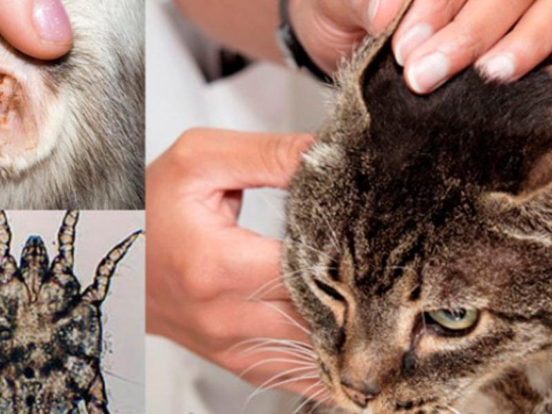 Чем может болеть кошка