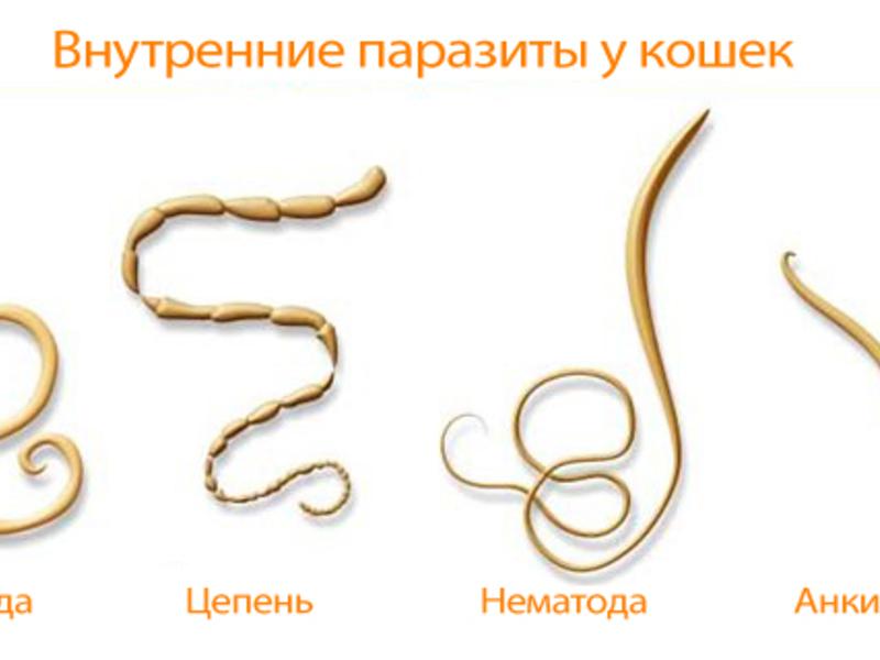 какие паразиты живут в голове человека