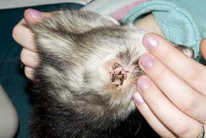 признаки ушного клеща у кошек фото