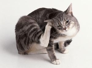 Ушной клещ у кошек симптомы