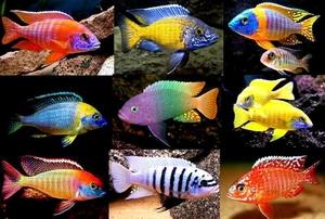 Цихлиды с кем уживаются в аквариуме