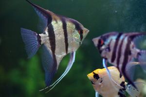 Аквариумные рыбки скалярии: уход и содержание