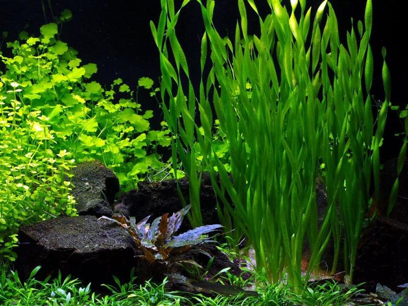 Внешний вид аквариумных водорослей Валлиснерий
