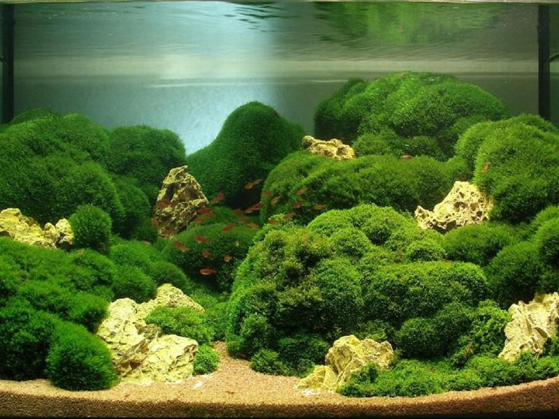 Свойства аквариумной водоросли Яванского мха