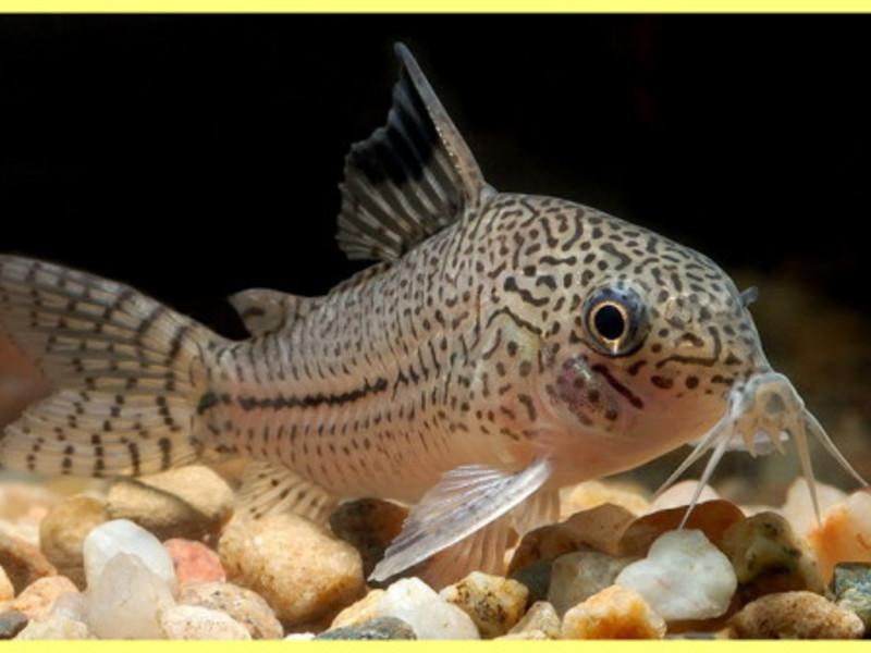 сомов аквариумных фото разновидность