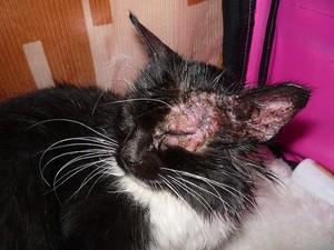 Лишай у котов фото лечение в домашних