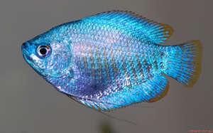 Рыбы аквариумные лялиус
