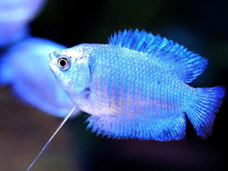 Описание аквариумной рыбк и лялиус