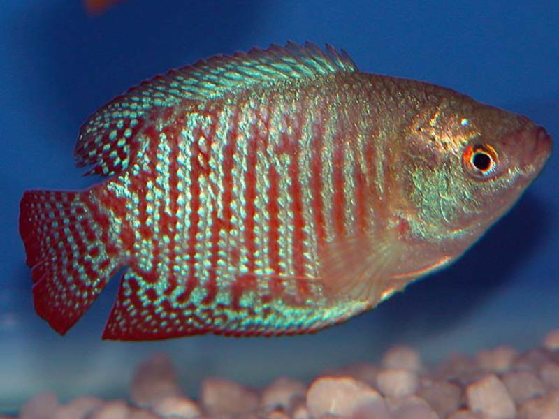 Как выглядит рыбка лялиус