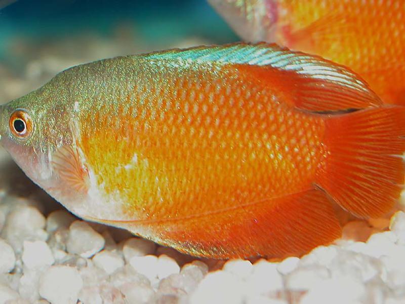 Лялиус - ветеран декоративного рыбоводства