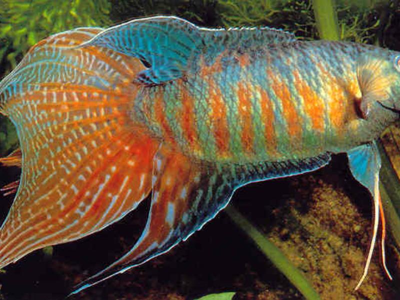 Рыбка в аквариуме лялиусы