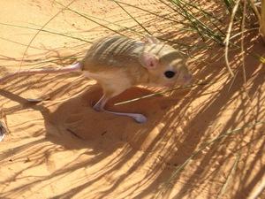 фото тушканчика в пустыне