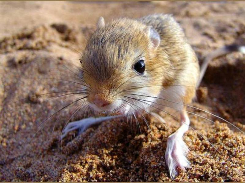 Информация о тушканчике живет в пустыне