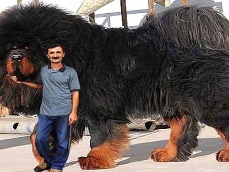 Тибетский мастиф самая большая собака в мире весящая до
