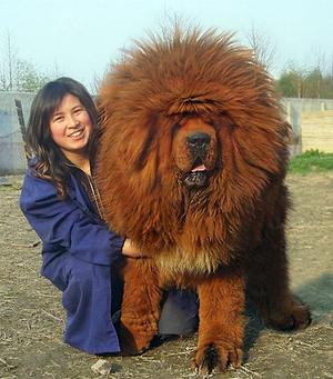 Тибетский мастиф вес взрослой собаки
