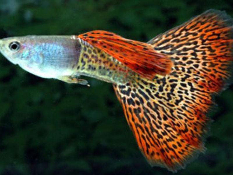 Веселые рыбки гуппи