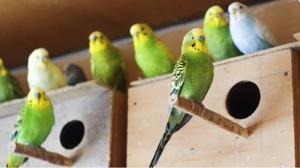 Разведение попугаев в домашних условиях как