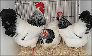 Как выбрать хорошую породу кур