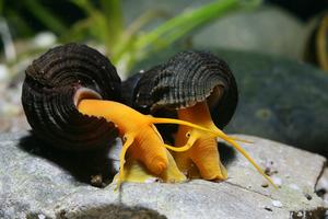 улитки аквариумные все виды фото и названия