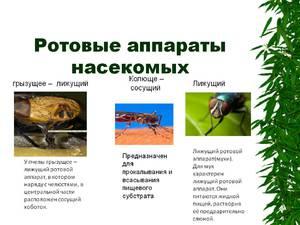 Чем отличаются ротовые аппараты жуков и других насекомых