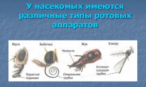 Особенности и различия ротовых аппаратов у насекомых