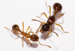 А муравьи умеют делать секс