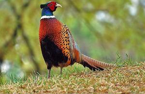 Фазан: фото и основные характеристики этой птицы, среда ...  Фазан Самец