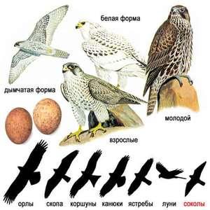 Характеристика хищных птиц