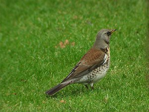 птицы фото дрозд