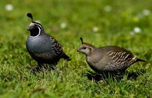 Перепела - особенности птицы