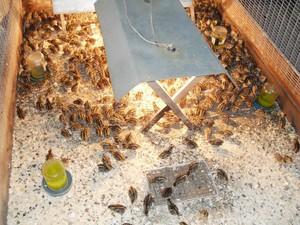 Разведение перепелов - это очень прибыльно, так как их яйца стоят дороже куриных