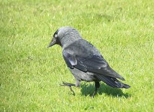 Фото черная ворона