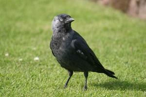 Повадки птицы галка