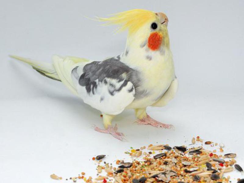 попугаи фото с названиями пород