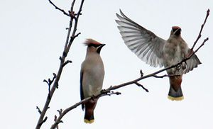 Перелетные птицы Беларуси
