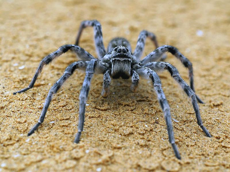 тарантул фото паук описание