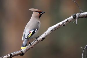 Свиристель <em>нарисованный щегол</em> - крупная, очень красивая птица
