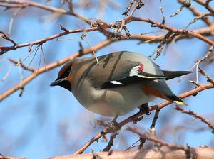 Красивая птица свиристель
