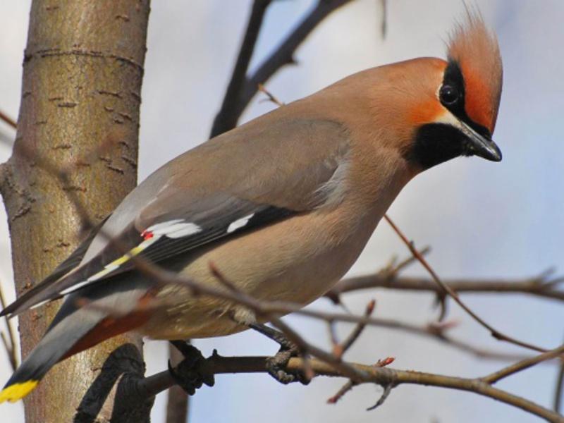 Окрас птицы свиристель