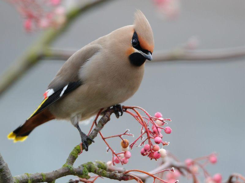 Характеристика птицы свиристель
