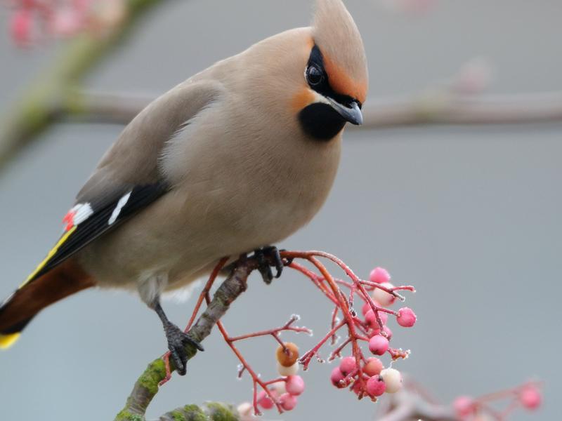 Среда обитания птицы свиристель