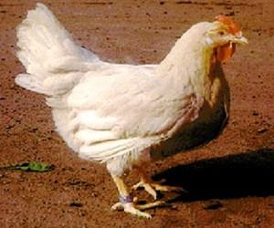 Порода кур Кросс Борки-117 - внешний вид