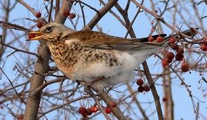 дрозд птица фото и описание