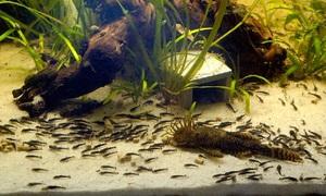 Сомики аквариумные содержание и уход