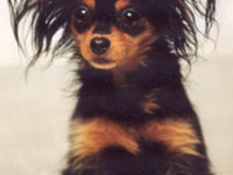 Описание собак породы тойтерьер