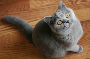 Чем кормить британскую кошку в домашних условиях